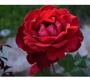 Троянда плетиста Дон Жуан (ІТЯ-409)