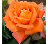 Саджанці троянди Луї де Фюнес (ІТЯ-146)