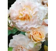 Троянда англійська Екскалібур (ІТЯ-26)