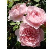 Троянда англійська Віслі (ІТЯ-419)