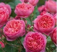 Троянда англійська Рожевий Лід (ІТЯ-416)