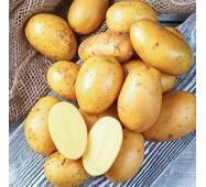 Картопля Королева Анна (ІКР-37-8)