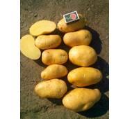 Картопля Гренада  за 8 кг (ІКР-130-8)