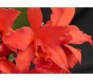 Орхидеи из домашней коллекции