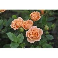 Роза Спрей Априкот Клементин (ОКН-1867) за 2-4 л