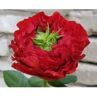 Чайно-гибридная Ред Ай (ОКН-2784) за 2-4 л