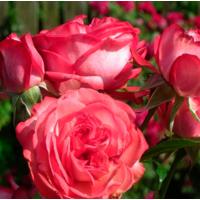 Роза плетистая Антик (ОКН-1649) за 2-4 л