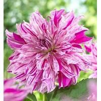 Жоржина Purple Taiheijo за 3 шт.  (АЖР-П-67)