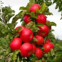 Яблоня колонновидная Готика (ІЯБ-154) за шт.