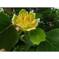 Саженец Лилиодендрон (Тюльпановое дерево) (ІДК-51)