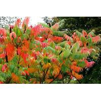 Уксусное дерево (Сумах пушистый)
