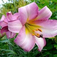 Лилия трубчатая Pink Perfection (АЛЛ-26)