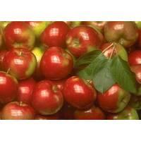 Яблука на експорт
