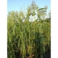 Семена Суданская трава