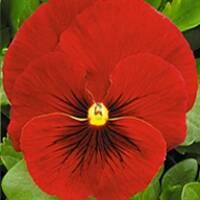 Віола великоквіткова Скарлет (ЕНК-200) за 0,1 г