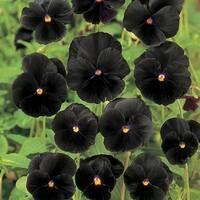 Віола звичайна Чорний король (ЕНК-120) за 0,1 г