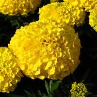 Бархатцы прямостоячие Лимон Принц за 0,5 г (ЕНК-113)