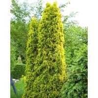 Туя західна Ауресценс (Aurescens)