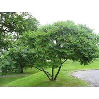 Оцтове дерево(Сумах) ф. кущ, дерево