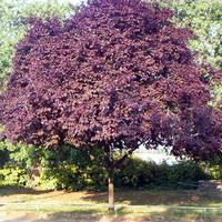 """Слива пурпурна """"Pissardii"""" солітерне дерево"""
