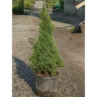"""Ялина канадська """"Коніка"""" (Picea glauca Conica)"""