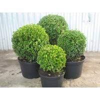 Самшит вечнозеленый (Buxus sempervirens) 40/50