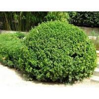 Самшит вечнозеленый (Buxus sempervirens) 35x35x40 элемент живой изгороди