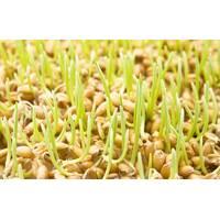 Зародышей пшеницы косметическое