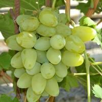 Саджанці винограду Довгоочікуваний