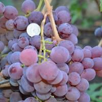 Саджанці винограду Рубіновий Ювілей