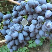 Саджанці винограду Гала