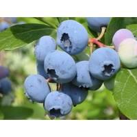 Саджанці лохини Ріка 1-3 річні (Reka) - врожайний.