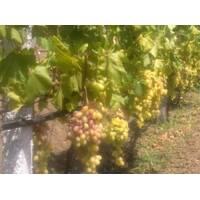 Саджанці винограду Ювілей Новочеркаська