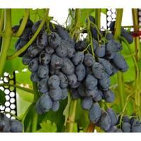 Саджанці винограду Блек гранд