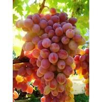Саджанці винограду Геліос