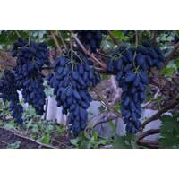 Живці винограду Академік