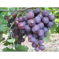 Живці винограду