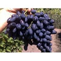 Живці винограду Атос