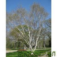 Береза корисна Жакмона Дооренбос (Betula utilis var. Jacquemontii)
