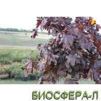 "Клён остролистный ""Crimson King"" (Acer platanoides Crimson King)"