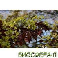 Клен остролистный Фассенс Блек (Acer platanoides Faassen's Black)