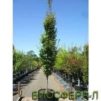 Граб обыкновенный Фастигиата (Carpinus betulus Fastigіata)