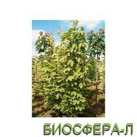 """Клен гостролистий """"Frisine"""" (Acer platanoides 'Frisine')"""