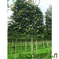 Граб обыкновенный 'Purpurea' (Carpinus betulus 'Purpurea')