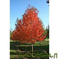 """Клен остролистый «ОтомБлейз» (Acer platanoides """"AutumnBlaze"""")"""