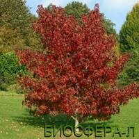 Ликвидамбар молоносный или амбровое дерево (Liquidambar Styraciflua)