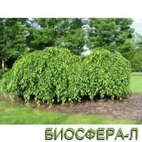 """Граб обыкновенный """"Пендула"""" (Carpinus betulus 'Pendula')"""
