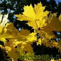 Клен остролистный Принцетон Голд (Acer platanoides Princeton Gold)