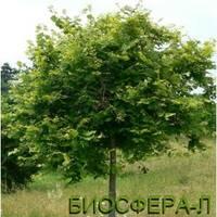Липа крупнолистая «Цельзат» (Tliaplatyphyllos «Zelzate»)