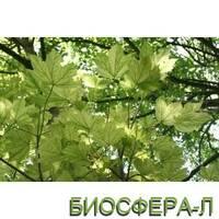 Клён ложноплатановый Леопольди (Acer pseudoplatanus Leopoldii)